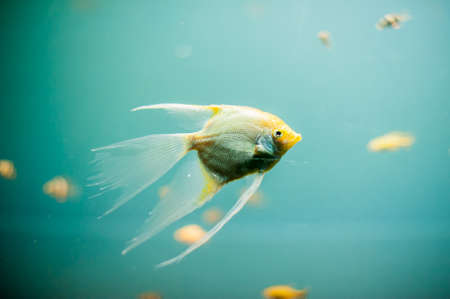 frontosa: aquarium fish, cold sea, close up picture