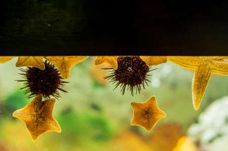 Starfish and sea urchin on wall Aquarium on a blue background