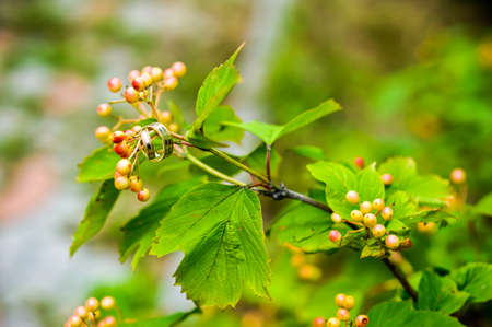 wedding rings on bunch of orange berries of mountain ash with the background of the green rowan leaves Stock Photo