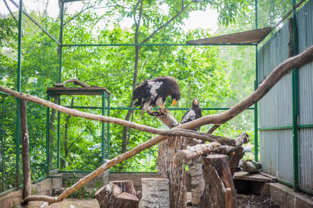 missouri wildlife: Eagle on a branch at the zoo Stock Photo