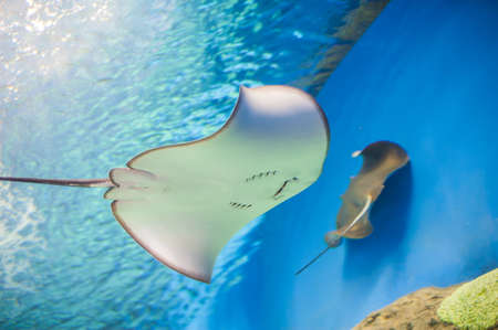 Skate stingray aquarium, view from below, belly Stock Photo