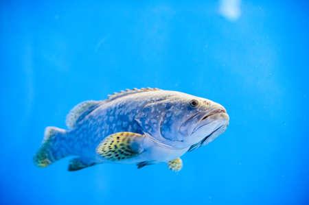 Big fish in the aquarium and underwater rocks