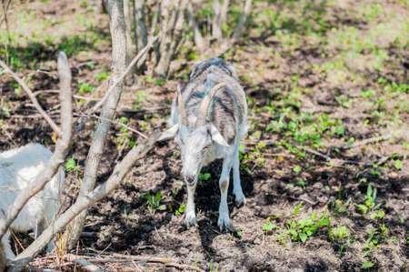Goat in the wood, eating green grass Stock Photo