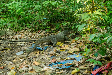 viviparous: Varan, lizard among debris in the forest, environment, pollution of the planet