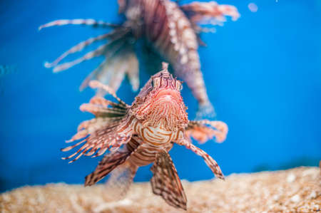 Swimming red lionfish. Pterois miles. dangerous, extraordinary, poisonous ocean fish. blue background. soft focus copy space. Ichthyology concept Stock Photo