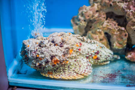stonefish: Reef stonefish Synanceia verrucosa , also known as the stonefish. Wildlife animal. Marine inhabitants concept. Ichthyology concept