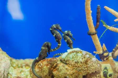 hippocampus: Spotted seahorse Hippocampus. Marine fish concept Ichthyology concept