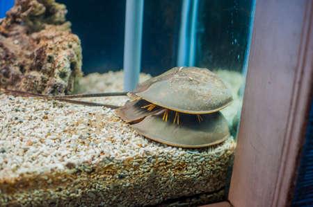 Mangrove horseshoe crab. Carcinoscorpius rotundicauda. Marine inhabitants concept. Ichthyology concept