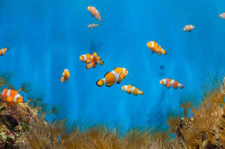 광대 물고기와 파란색 배경에 말미잘. 해양 주민 개념입니다. 어류 학 개념 스톡 콘텐츠