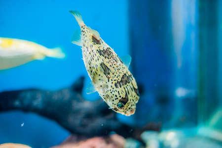 el pez globo puercoespín en el acuario en el fondo azul. Concepto de peces marinos concepto Ictiología