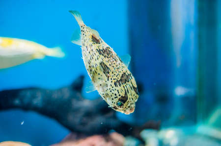 Porcupine pufferfish at the aquarium on the blue background. Marine fish concept Ichthyology concept Stock Photo