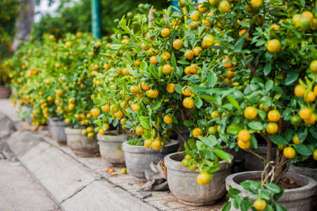 Kumquat, the symbol of Vietnamese lunar new year. In nearly every household, crucial purchases for Tet include the peach hoa dao and kumquat plants.