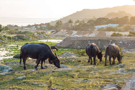 Buffaloes in the field in Vietnam, Nha Trang.
