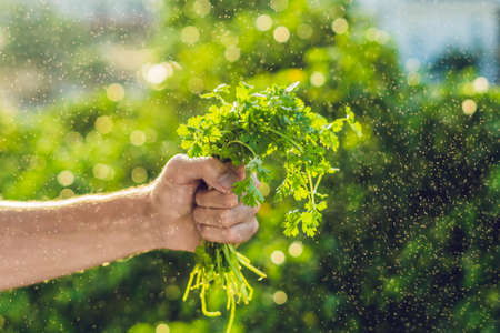 Hand holding Cilantro in the farm And splashing water Sunrise. Stock Photo