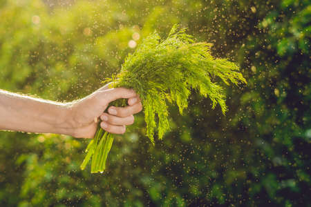 Bunch of fennel in a hand of a man with a splashes of water in air. Sunset light. Go green. Healthy food