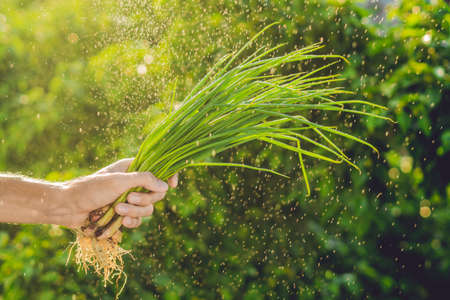 Bunch of Green onions in a hand of a man with a splashes of water in air. Sunset light. Go green. Healthy food Stock Photo
