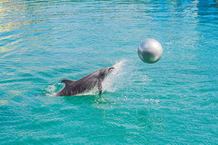 dolphin in blue water playing with the ball.