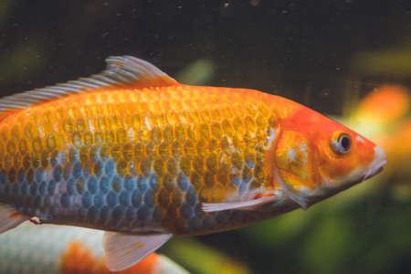 A large orange fish in a aquarium.