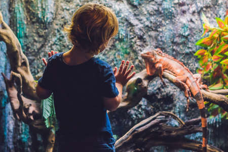 southamerica: The boy looks at Caiman Lizard Dracaena guianensis , a large green and red reptile native to South America. Stock Photo