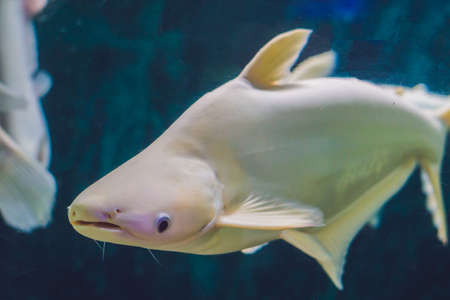 Large white fish with a hump in a tropical aquarium. Stock Photo