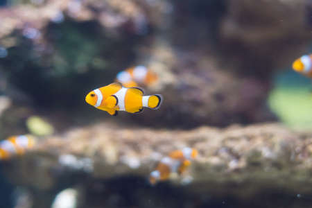 A Clownfish in Saltwater Coral Reef Aquarium. Stock Photo