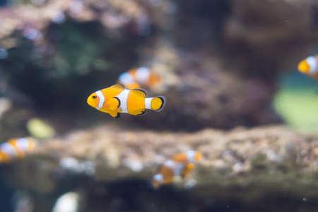 false percula clownfish: A Clownfish in Saltwater Coral Reef Aquarium. Stock Photo