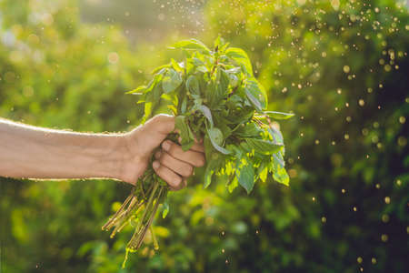 Bunch of basil in a hand of a man with a splashes of water in air. Sunset light. Go green. Healthy food