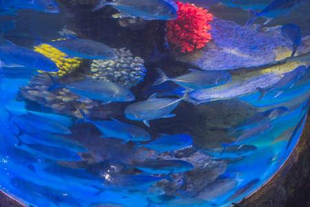 Many fish in a round aquarium swim. Stock Photo