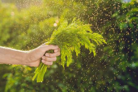 finocchio: Mazzo di finocchi in una mano di un uomo con spruzzi d'acqua in aria. Luce del tramonto Diventa verde. Cibo salutare