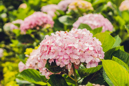 hydrangea macrophylla: Branch of light Pink hydrangea flowers blooming in the garden Stock Photo