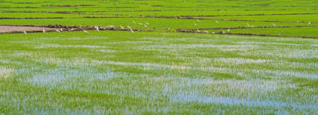 White storks on the rice field. Asian Openbill standing in the rice field.