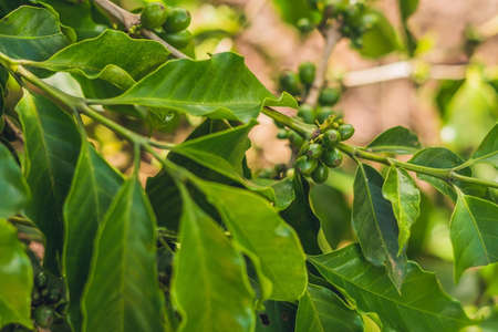 Unripe coffee beans on stem in Vietnam plantation. Stock Photo