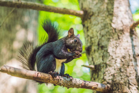 Black squirrel sits on a tree and eats.