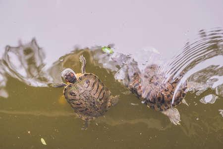 Water turtles swim in the pond of Hong Kong.