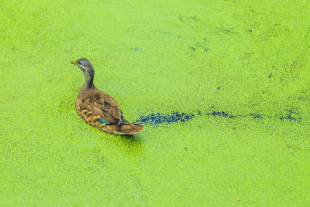 mallard duck feeding on duck weed in a green overgrown pond.