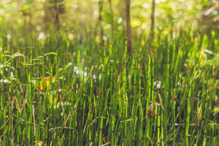 Wild plants - green background of horsetail or Tolkachik Equisetum arvense - Common Horsetail in spring. Green grass - abstract background of nature. Stock Photo