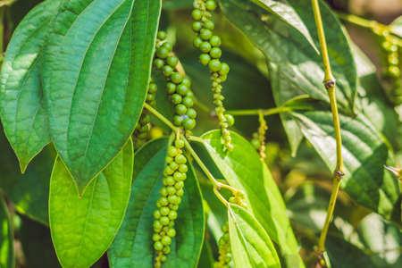 Black pepper farm in Vietnam, Phu Quoc. Stock Photo