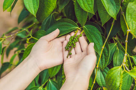 Hands of a young woman on a black pepper farm in Vietnam, Phu Quoc.