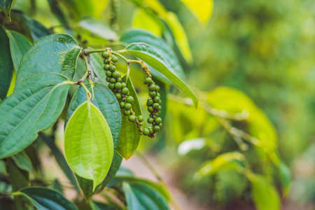 Black pepper farm in Vietnam, Phu Quoc. Stock Photo