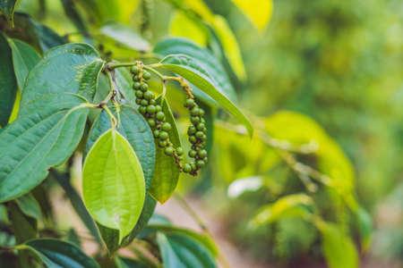 Zwarte peperlandbouwbedrijf in Vietnam, Phu Quoc. Stockfoto - 93474398