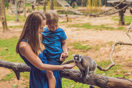 Mom and son are fed Ring-tailed lemur - Lemur catta. Beauty in nature. Petting zoo concept.