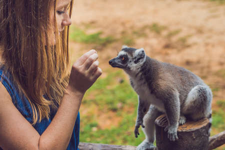 Young woman is fed Ring-tailed lemur - Lemur catta. Beauty in nature. Petting zoo concept.