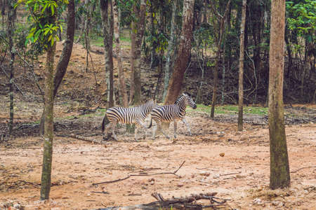 Zebras running through the forest. Zebras in the natural environment. Stock Photo