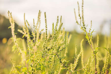 Ambrosia bushes that cause allergy in many people. Stock Photo