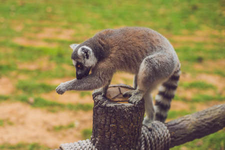 Lemur catta sits on a fence at the zoo.