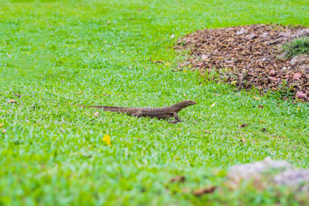 Varanus lizard in the foreground on the grass.