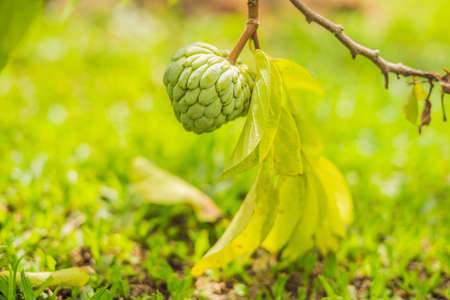 Young Sugar Apple or Custard Apple growing on tree in plant of thailand. cherimoya. Stock Photo