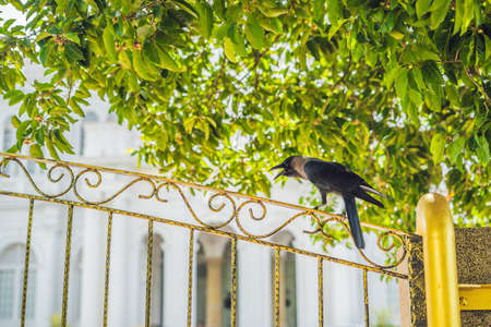 Crow on an iron yellow fence against the background of trees.