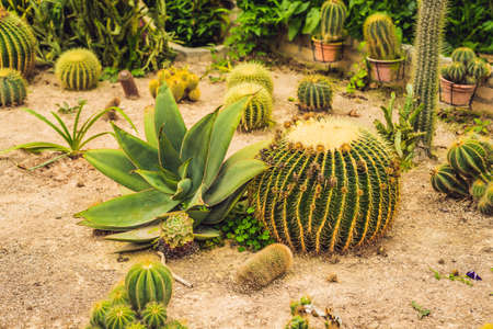 Cactus , succulents in the ground in the park. Stock Photo