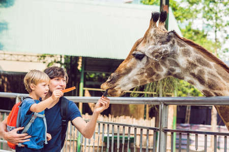 Father and son watching and feeding giraffe in zoo. Happy kid having fun with animals safari park on warm summer day.